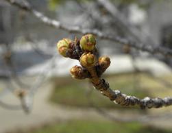 桜の蕾のイメージ